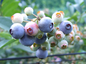 ブルーベリーが青く色づいてくれば収穫です